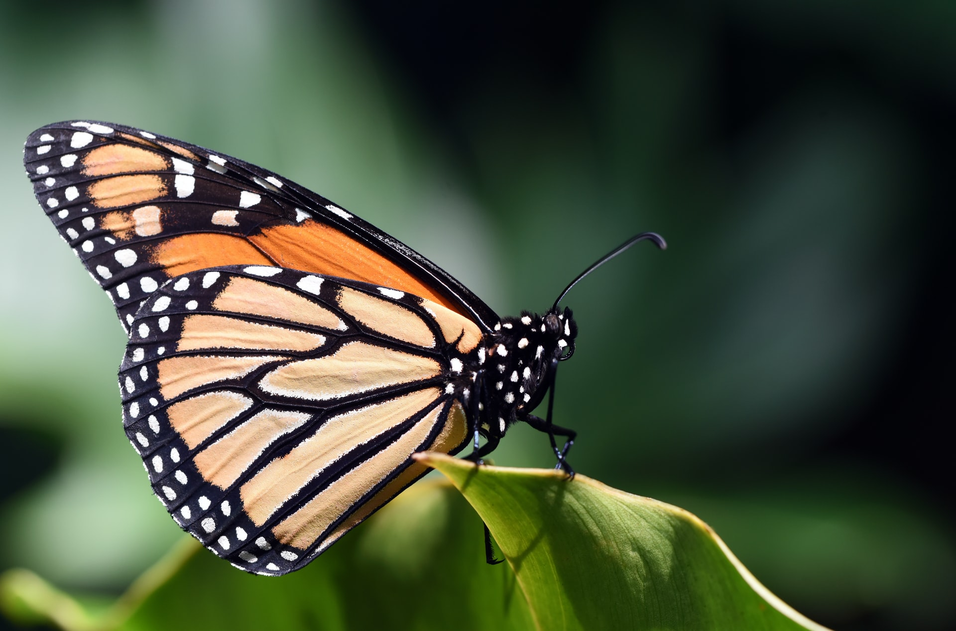 Butterfly Click